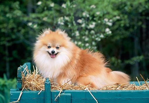 Pomeranian Resting In Crate Of Straw Kimballstock