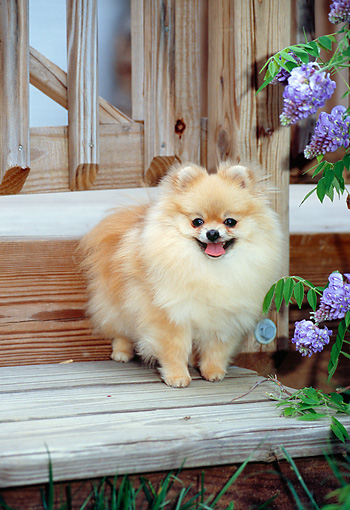 DOG 19 CE0094 01 © Kimball Stock Pomeranian Standing On Wooden Step By Violet Flowers