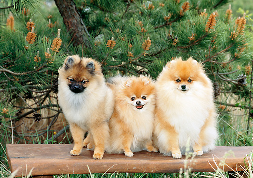 DOG 19 CE0095 01 © Kimball Stock Three Pomeranians Sitting On Bench By Pine Tree
