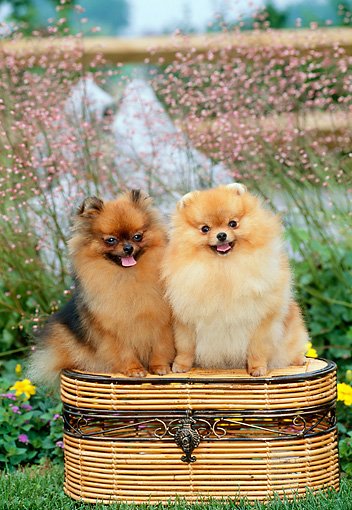 DOG 19 CE0098 01 © Kimball Stock Two Pomeranians Sitting On Basket In Garden