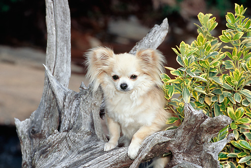 DOG 19 CE0101 01 © Kimball Stock Long-Haired Chihuahua Standing On Logs