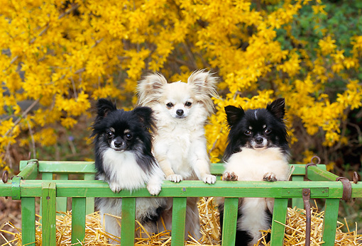 DOG 19 CE0102 01 © Kimball Stock Three Long-Haired Chihuahuas Standing In Crate Of Straw