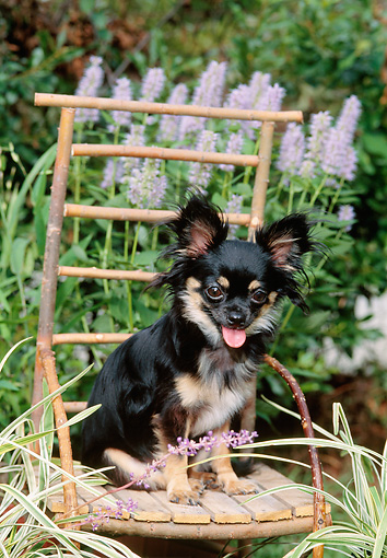DOG 19 CE0106 01 © Kimball Stock Chihuahua Sitting On Twig Chair In Garden