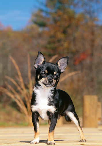 DOG 19 CE0107 01 © Kimball Stock Chihuahua Standing On Wooden Deck
