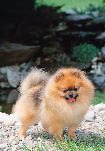 DOG 19 CE0111 01 © Kimball Stock Pomeranian Standing On Pebbles