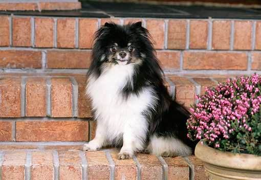DOG 19 CE0117 01 © Kimball Stock Pomeranian Sitting On Brick Steps By Flower Pot