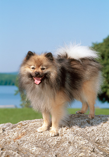 DOG 19 CE0121 01 © Kimball Stock Portrait Of Pomeranian   Standing On Rock By Water
