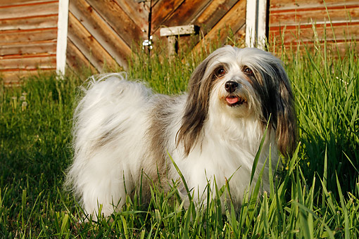 DOG 19 DB0002 01 © Kimball Stock Havanese Standing In Grass By Barn