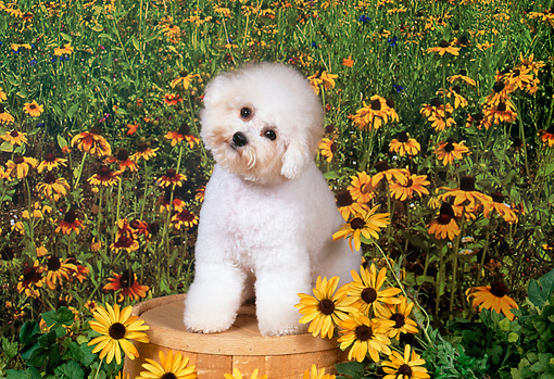 DOG 19 FA0031 01 © Kimball Stock Bichon Frise Sitting On Bucket By Orange Flowers