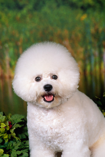 DOG 19 FA0033 01 © Kimball Stock Close-Up Of Bichon Frise Sitting