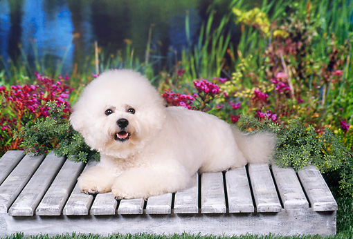 DOG 19 FA0034 01 © Kimball Stock Bichon Frise Laying On Wooden Platform By Flowers