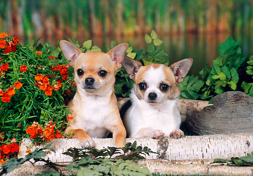DOG 19 FA0035 01 © Kimball Stock Chihuahuas Laying On Tree Branch by Marsh