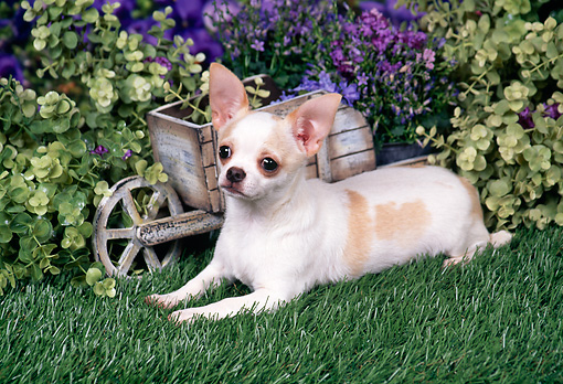 DOG 19 FA0038 01 © Kimball Stock Chihuahua Laying On Grass By Violet Flowers