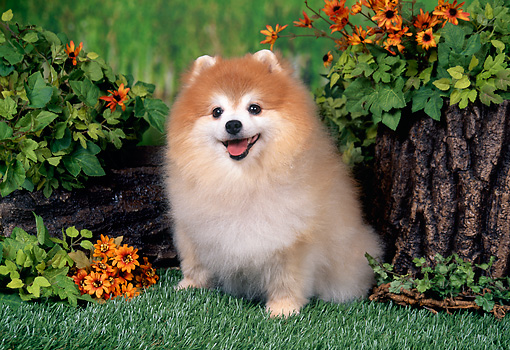 DOG 19 FA0039 01 © Kimball Stock Pomeranian Sitting On Grass By Stump And Yellow Flowers