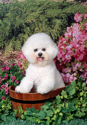 DOG 19 FA0049 01 © Kimball Stock Bichon Frise Sitting In Barrel In Garden