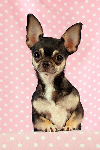 DOG 19 JD0004 01 © Kimball Stock Chihuahua Looking Over Shelf With Pink Polka Dot Background