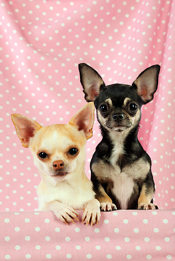 DOG 19 JD0005 01 © Kimball Stock Chihuahuas Looking Over Shelf With Pink Polka Dot Background