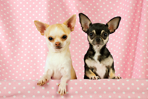 DOG 19 JD0006 01 © Kimball Stock Chihuahuas Looking Over Shelf With Pink Polka Dot Background