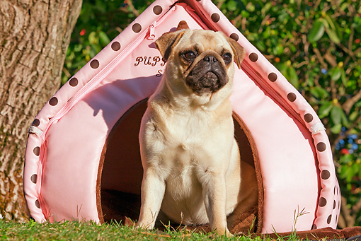 DOG 19 JE0001 01 © Kimball Stock Pug Sitting In Pink Pup Tent On Grass