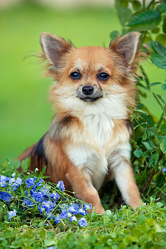 DOG 19 JE0006 01 © Kimball Stock Longhair Chihuahua Sitting On Purple Flowers