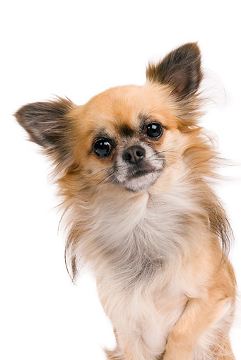 DOG 19 JE0009 01 © Kimball Stock Close-Up Of Long-Haired Chihuahua Sitting On White Seamless