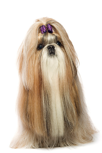 DOG 19 JE0013 01 © Kimball Stock Shih Tzu With Purple Bow Sitting On White Seamless