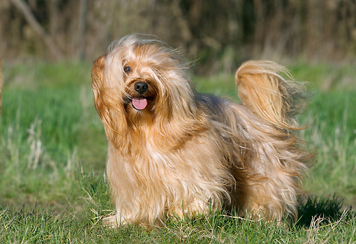 DOG 19 JE0019 01 © Kimball Stock Havanese Standing On Grass In Wind