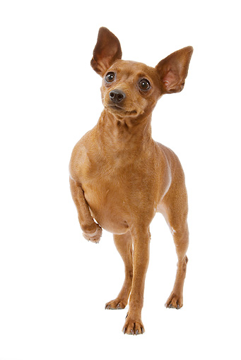 DOG 19 JE0024 01 © Kimball Stock Miniature Pinscher Standing On White Seamless With One Paw Up