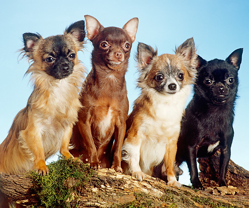 DOG 19 JE0025 01 © Kimball Stock Long-Haired And Short-Haired Chihuahuas Sitting On Log