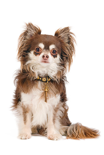 DOG 19 JE0028 01 © Kimball Stock Long-Haired Chihuahua Sitting On White Seamless