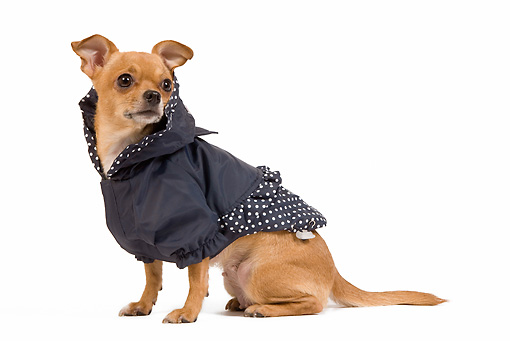 DOG 19 JE0033 01 © Kimball Stock Short-Haired Chihuahua Wearing Polka Dot Jacket Sitting On White Seamless