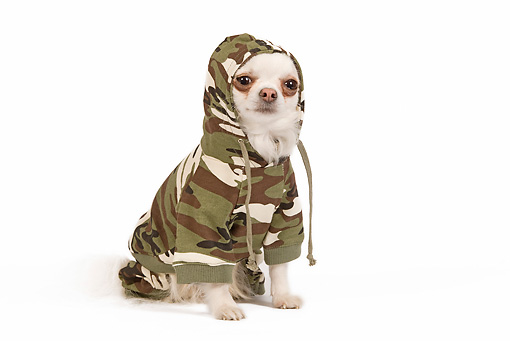 DOG 19 JE0034 01 © Kimball Stock Long-Haired Chihuahua Wearing Camouflage Sweater Sitting On White Seamless