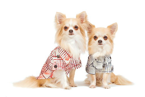 DOG 19 JE0035 01 © Kimball Stock Long-Haired Chihuahuas Wearing Plaid Shirts Sitting On White Seamless