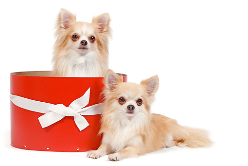 DOG 19 JE0036 01 © Kimball Stock Long-Haired Chihuahuas Sitting In Red Gift Box On White Seamless