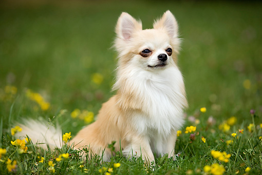 DOG 19 JE0038 01 © Kimball Stock Long-Haired Chihuahua Sitting On Grass And Yellow Flowers
