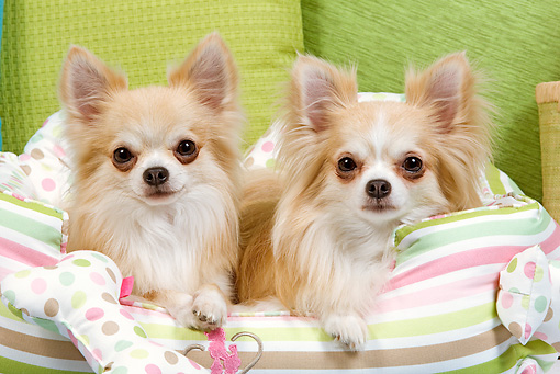 DOG 19 JE0040 01 © Kimball Stock Long-Haired Chihuahuas Laying In Striped Dog Bed