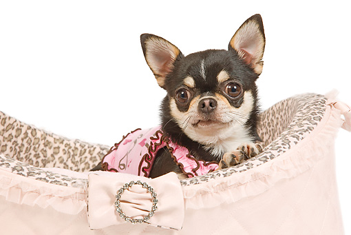 DOG 19 JE0047 01 © Kimball Stock Brown And Black Chihuahua Laying In Pink Dog Bed On White Seamless