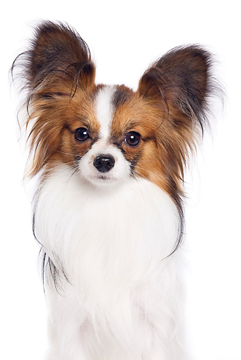 DOG 19 JE0049 01 © Kimball Stock Portrait Of Papillon Sitting On White Seamless