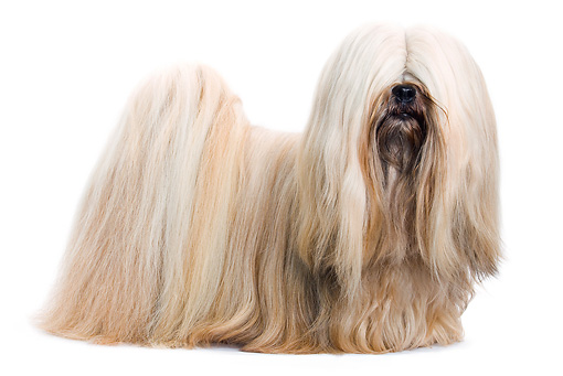 DOG 19 JE0050 01 © Kimball Stock Lhasa Apso Standing On White Seamless Profile