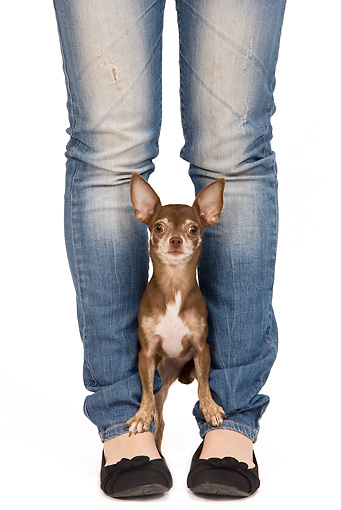 DOG 19 JE0055 01 © Kimball Stock Chihuahua Standing Between Owner's Legs On White Seamless