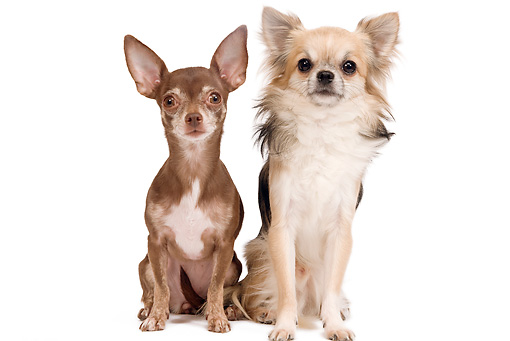 DOG 19 JE0056 01 © Kimball Stock Short-Haired And Long-Haired Chihuahuas Sitting On White Seamless