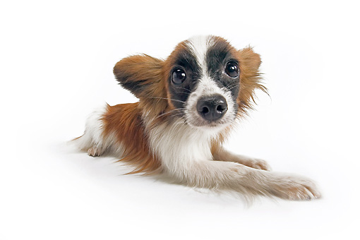 DOG 19 JE0059 01 © Kimball Stock Long-Haired Chihuahua Laying On White Seamless
