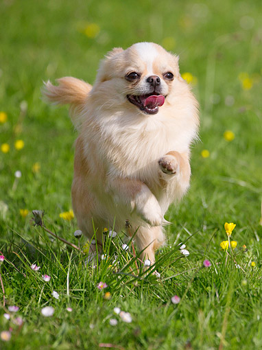 DOG 19 JE0064 01 © Kimball Stock Chihuahua Galloping Through Grass