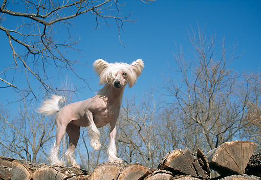DOG 19 JN0003 01 © Kimball Stock Chinese Crested Standing On Woodpile Against Blue Sky