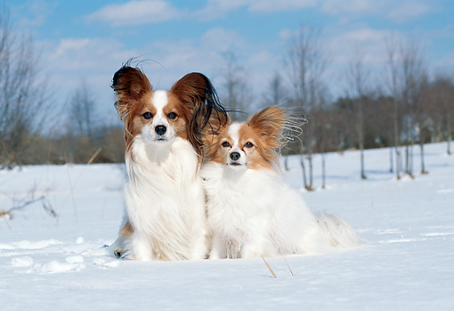 DOG 19 JN0005 01 © Kimball Stock Two Papillons Sitting In Snow
