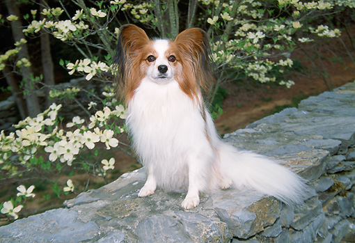 DOG 19 JN0006 01 © Kimball Stock Papillon Sitting On Rock Wall By White Blossoms