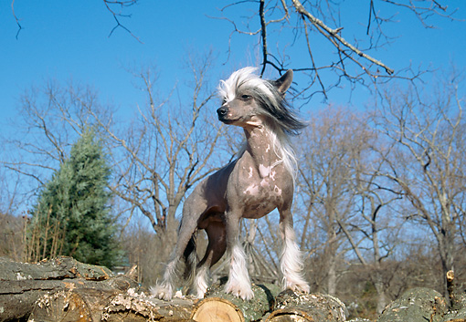 DOG 19 JN0007 01 © Kimball Stock Chinese Crested Standing On Woodpile