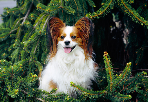DOG 19 JN0009 01 © Kimball Stock Papillon Sitting By Pine Tree