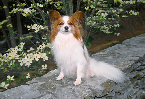 DOG 19 JN0011 01 © Kimball Stock Papillon Sitting On Stone Wall By White Blossoms