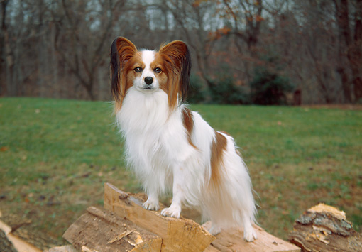 DOG 19 JN0012 01 © Kimball Stock Papillon Standing On Woodpile